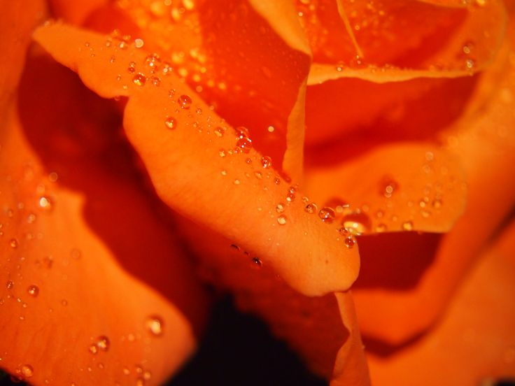 Rose in the rain...