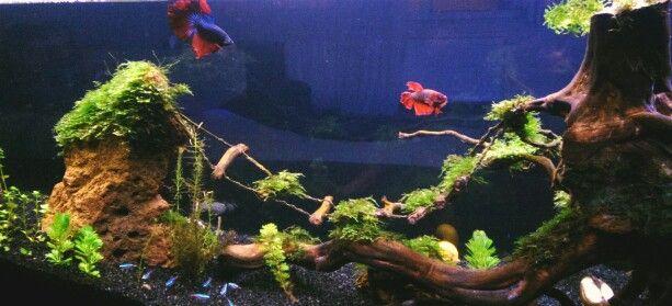 Aquarium betta fish
