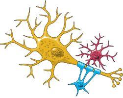 El efecto del masaje empieza por el contacto con los receptores nerviosos de la piel, dando lugar a una reacción que va desde las raíces sensitivas hasta la médula espinal, y de aquí al área sensitiva cerebral a través de los fascículos medulares específicos; en consecuencia se produce una respuesta desde el área motora que, por vía contraria llega a los grupos musculares adyacentes, dando lugar a la contracción o relajación según la maniobra realizada...