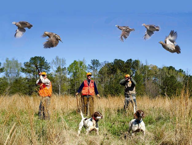 Don't shoot a low-flying quail | Practical Quail Hunting Tips Every Hunter Should Follow