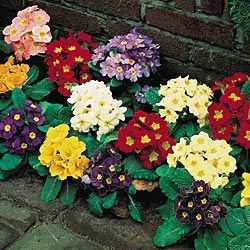 Primrose.  Perennial for shady sites, doubles yearly.  Maybe in front of Office windows