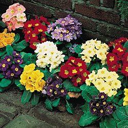 mixed primrose, zones 3-8