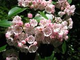 Kalmia latifolia (Mountain laurel) | NPIN