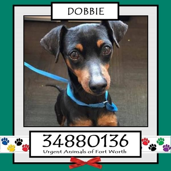 Fort Worth, TX - Current Status: URGENT - can be added to the euthanasia list at any time\r\n\r\n Reason for URGENT: Heartworm Positive, Temperament\r\n\r\n Animal ID: 34880136\r\n Name: Dobbie\r\n Breed: Miniature Pinscher mix\r\n Sex: Male\r\n Age: 4 years\r\n Weight: 12 lbs\r\n Neutered\r\n Heartworm Positive\r\n\r\n Intake: 3\/17\r\n Found: 800 blk Missouri Avenue 76104\r\n\r\n Personality\r\n 3\/22: Dobbie is very scared and untrusting. I have been working with him and he has n...