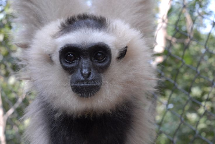 Resident female pileated gibbon at Phnom Tamao Wildlife Rescue Center
