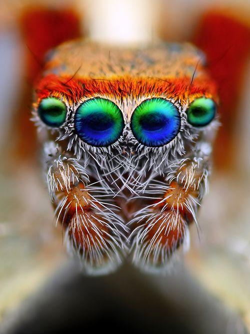 Este retrato asombroso es de una rara araña saltar española Saitis Barbipes. Saltar araña es de 5 mm de gran tamaño y esto es muy extremo de cerca. Los colores son reales. Esta es probablemente la única araña saltadora que tiene los ojos metálicos muy azules como se puede ver en la foto.