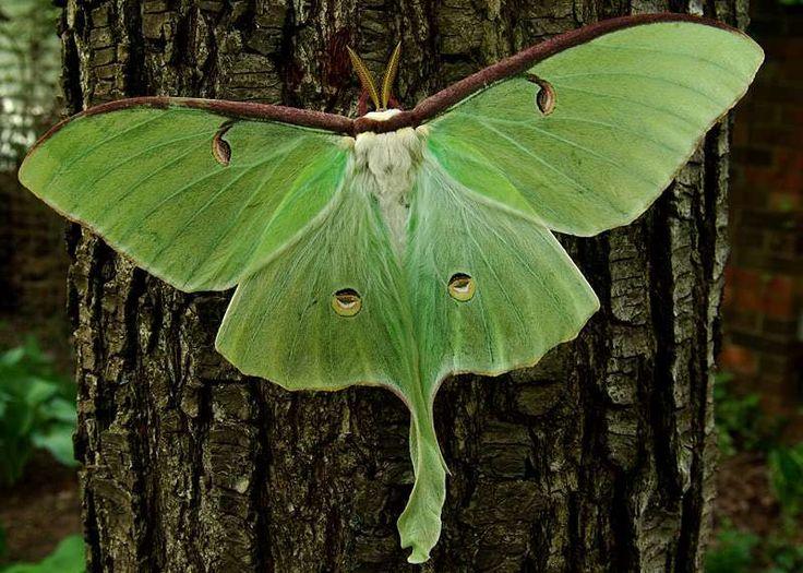 Luna Moth (Actias luna) adalah spesies ngengat, masuk dalam keluarga Saturniidae. Luna Moth dianggap serangga yang paling indah di Amerika Utara. Luna Moth memiliki lebar sayap antara 7,5-10,5 cm. …