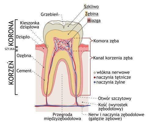 Budowa zęba. Źródło: Afanasovich/Wikimedia