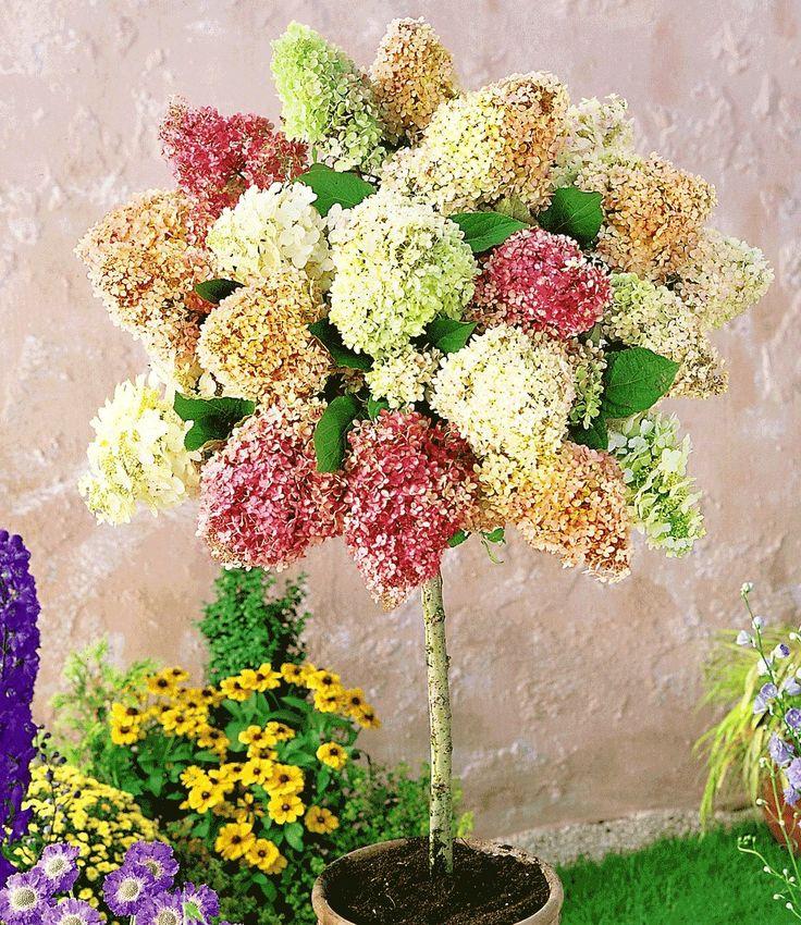 hortensien st mmchen 39 grandiflora 39 pflanzen pinterest. Black Bedroom Furniture Sets. Home Design Ideas