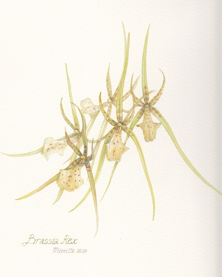 Brassia Rex, watercolor by Mireille Belajonas, 2010