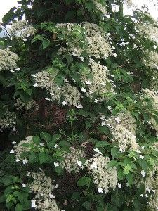Hydrangea petiolaris (Climbing Hydrangea) are a hardy climbing deciduous plant that uses its adventitious roots to grip to walls and fences and flowers.
