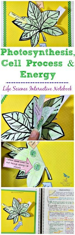 Life Science Interactive Notebook: Photosynthesis,Cell Process & Energy by Nitty Gritty Science Photosynthesis interactive model with cut-outs of stomata, chloroplasts and movement of water, carbon dioxide and oxygen.