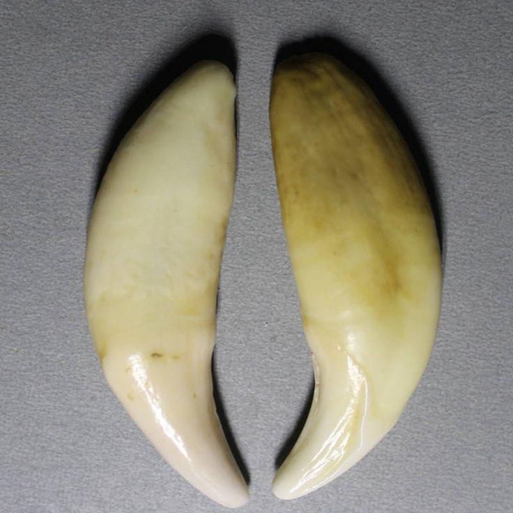 TBP5854 Tibet Wolf Teeth Amulet for Man Tibetan Mastiff Fangs 54-55mm Original Color Big size