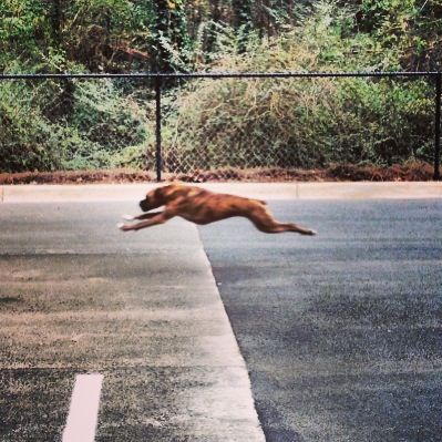 The rare picture of a boxer running full speed.