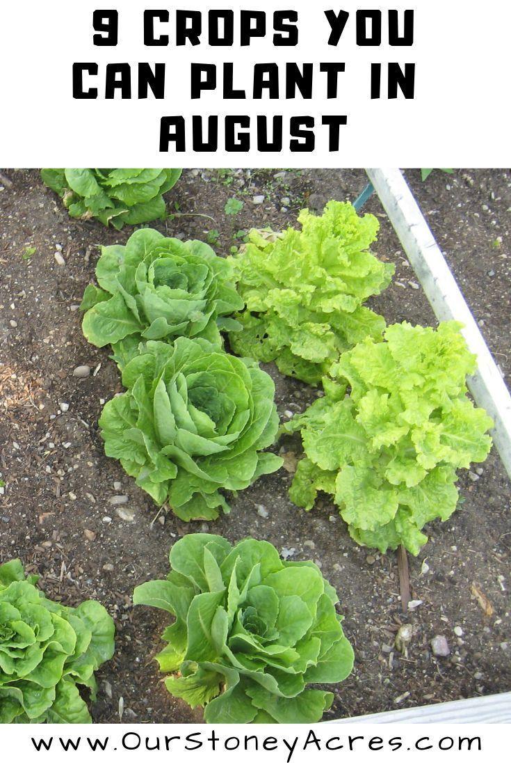 9 Pflanzen können im August für die Herbst- und Winterernte gepflanzt werden