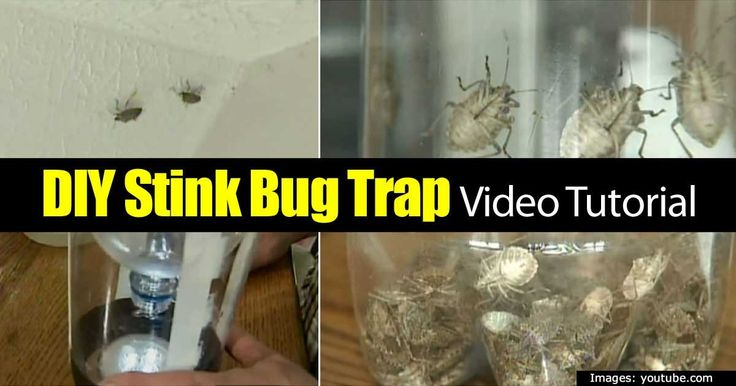 Though they are harmless, stinkbugs can be quite a nuisance to humans. When they are killed, frightened, or disturbed, they emit a terrible smell. Many stink bug traps and repellents are available, but there is a very simple and cheap method of making a trap. All you need is an empty 2 Liter...