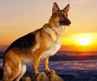 A vida dos Cães: Enconteri um pastor alemão
