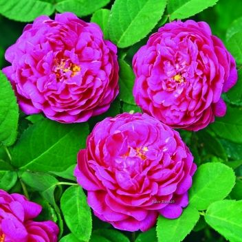 Rose Barni • Vendita e spedizione di rose in vaso e a radici nude, rosai a cespuglio e rampicanti a domicilio • Pistoia