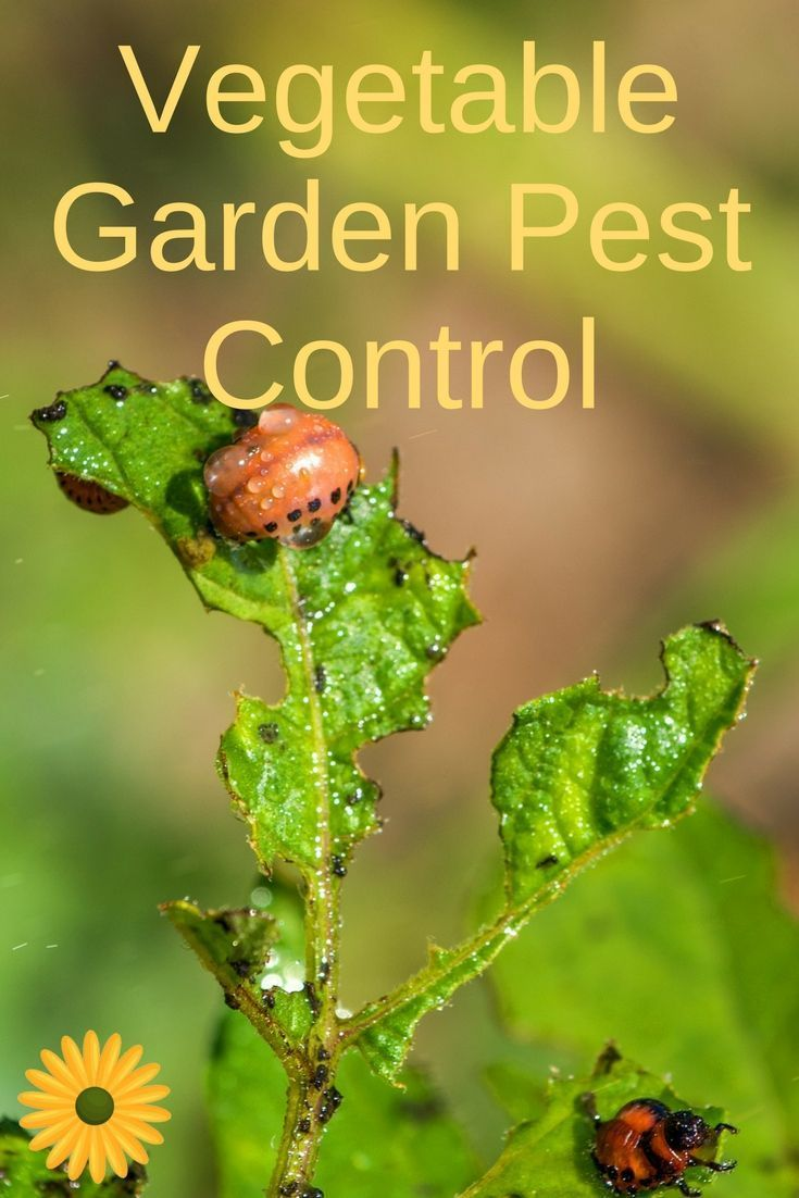 Beautiful Learn How To Control Vegetable Garden Pests Naturally