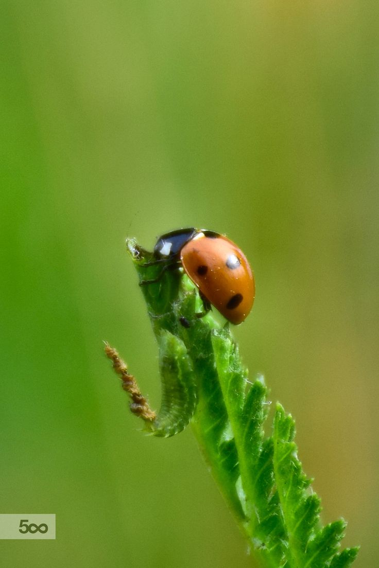 Ladybug by Corina Ene  on 500px