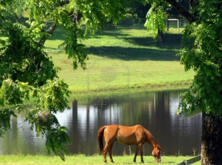 http://www.123rf.com/photo_14863110_beautiful-chestnut-horse-concentrates-on-eating-the-green-spring-grass-in-field-besides-lake.html