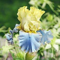 Bollywood Bearded Iris