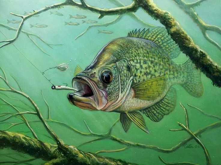17 best images about for the love of fishing on for What is a crappie fish