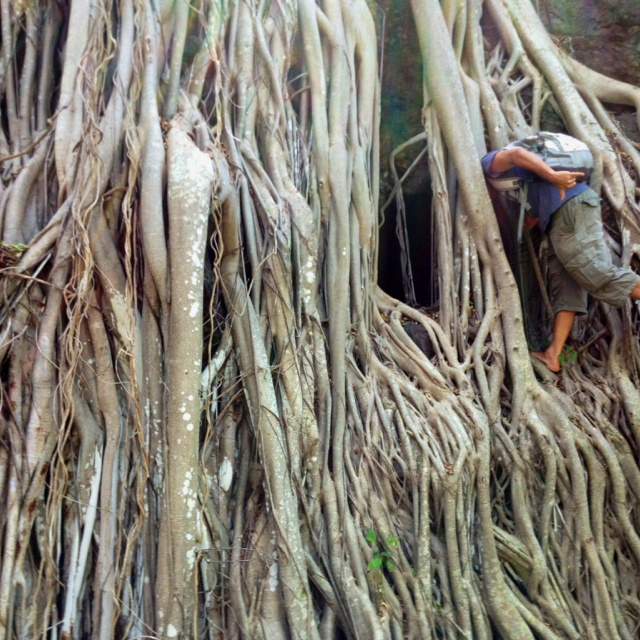 Where did the head go? #banyan #hawaii