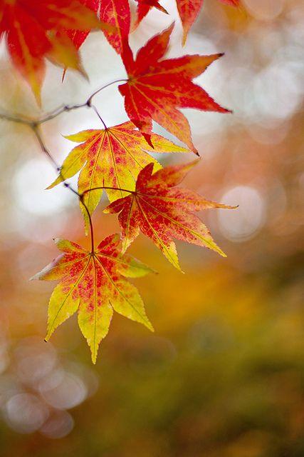 Autumn still life ... Japanese Maple leaves