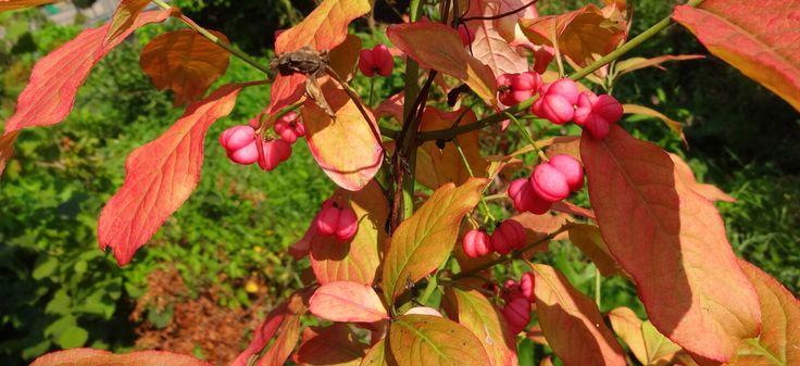 Vroege herfst of mooie nazomer? (Kardinaalsmuts)