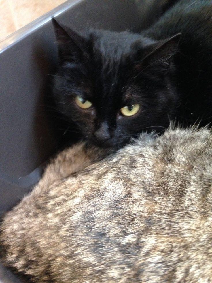 Adopter Petit chat Adulte - La patte de l'espoir - Yvelines - Chat domestique poil court - SecondeChance.org