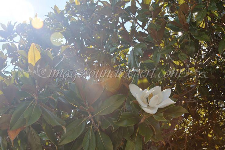 floare de magnolie / magnolia flower / magnolienblumen / fleur de magnolia