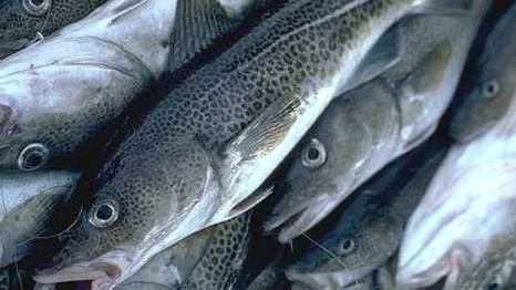 New Study links cod collapse to rapid warming of ocean waters