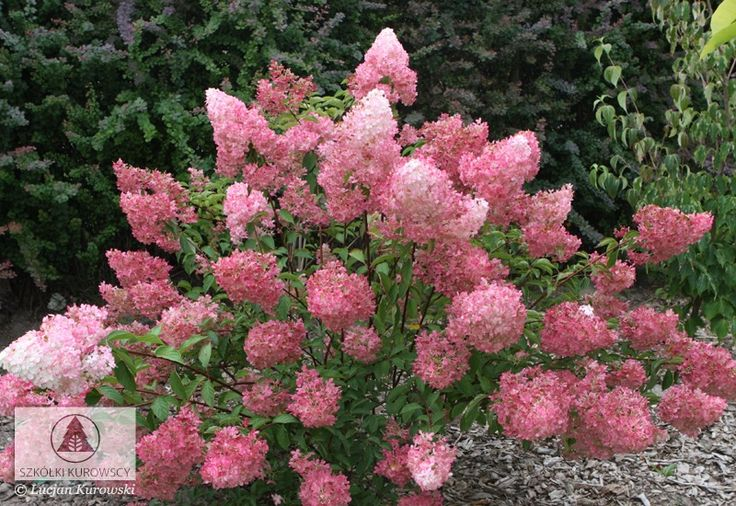 hydrangea paniculata 39 vanille fraise 39 hortensja bukietowa 39 vanille fraise 39 best plants. Black Bedroom Furniture Sets. Home Design Ideas