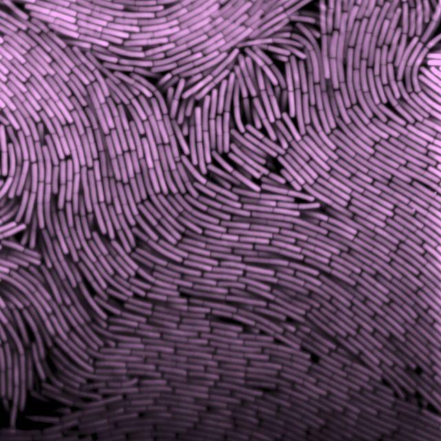fluorescent bacteria (Bacillus subtilis) confocal microscopy