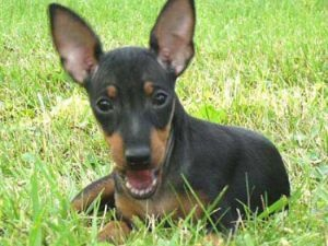 the toy manchester terrier. Looks ridiculously like my little jack Russell Manx terrier cross