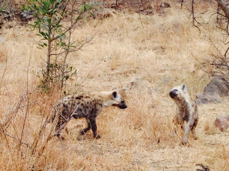 Spotted Hyena cubs having fun.