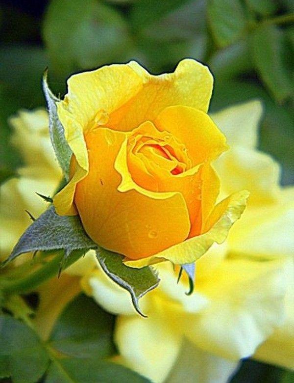 M s de 25 ideas incre bles sobre rosas amarillas en - Clases de flores amarillas ...