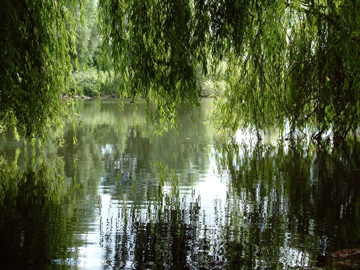 Weeping Willow Weeping Willow Weeping Willow Tree