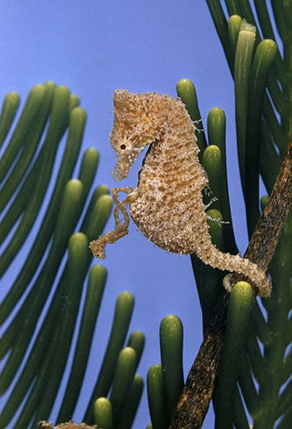 """Good post with lots of pictures examining, reviewing, and extracting information from Helen Scales's book """"Poseidon's Steed: The Story of Seahorses, from Myth to Reality"""" (Gotham Books, August 2009, U.S.$ 24.00). Worth the click-through!  Shown here: """"A pygmy sea horse pops out of its father's pouch tail first at birth."""" NGS photo by Paul Zahl: Sea Horses, Sea Life, Sea Creatures, Seahorses, Birth Another, Horse Pops, Baby Seahorse, Male Seahorse, Animal"""