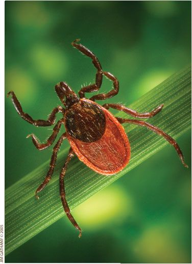 25 Best Ideas About Ticks Remedies On Pinterest Natural