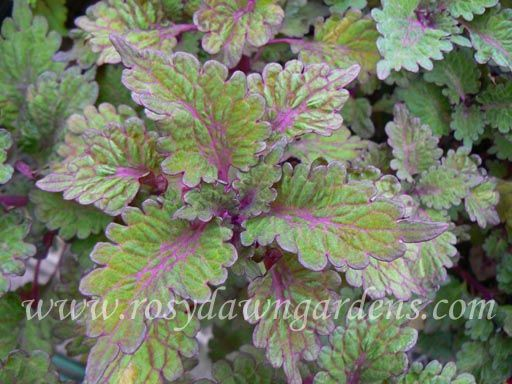 """Coleus 'Abigail' (medium-large 18""""-24""""; upright)  Puckered and scalloped leaves of medium olive green have bright purple veining. Exposure to sunlight will deepen the purple tones. Sun tolerant. A Rosy Dawn Gardens introduction.  $4.75"""