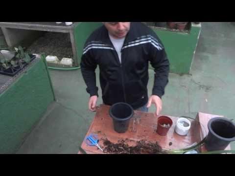 Como Replantar Orquídea Cymbidium - www.orquidario4e.com.br - YouTube