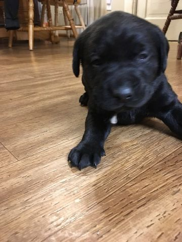 Litter Of 4 Labrador Retriever Puppies For Sale In Goodview Va