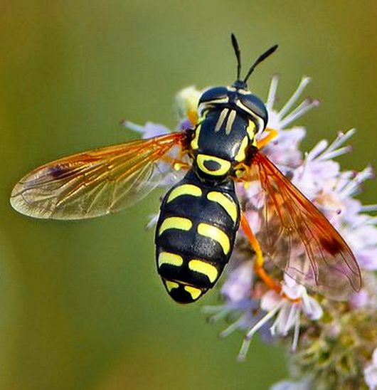 Hoverfly - Hoverflies, sometimes called flower flies or syrphid flies, make up the insect family Syrphidae. As their common name suggests, they are often seen hovering or nectaring at flowers.