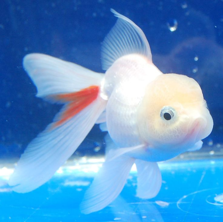 314 best images about gotta love fantail goldfish on for Cute freshwater fish
