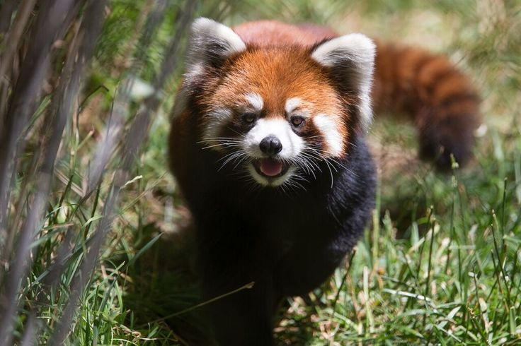 Red pandas will be coming to the Reid Park Zoo (AZ) in November.