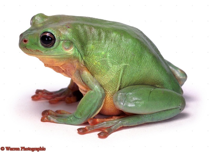 how to keep a tree frog as a pet