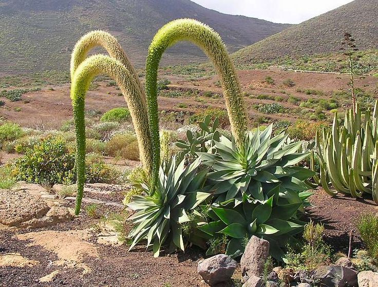 Agave attenuata blooms! Height: 3-4 feet Width: 4-6 feet. Hardy to 28°F.