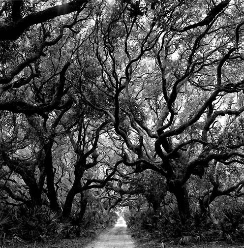 Trees in black & white.: Enchanted Wood, Black White Photography, Stones Wall, Art Photography, Photography Artists, Rodney Smith, Cumberland Island Georgia, Trees, Cumberland Islands Georgia